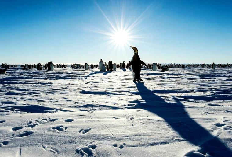 Emperor Penguins, Antarctica
